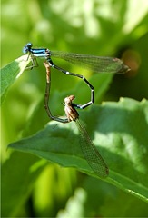 odo_damselflies_mating06